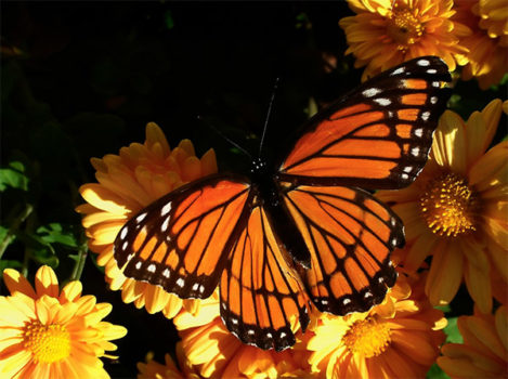 monarch butterfly, bee populations