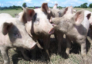 Pork prices affected by trade war