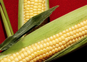 Drought-tolerant corn, most of it conventionally bred, is a hit