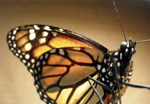 Monarch population wintering in Mexico almost doubles