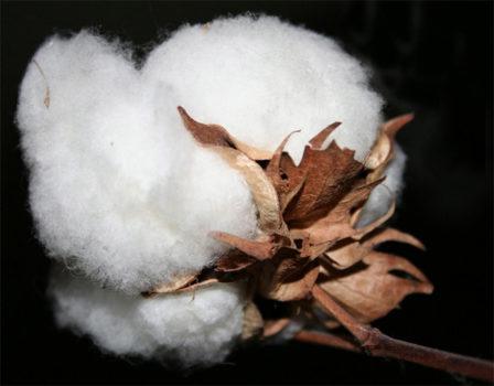 Cotton More Profitable, Could Surpass Soybeans
